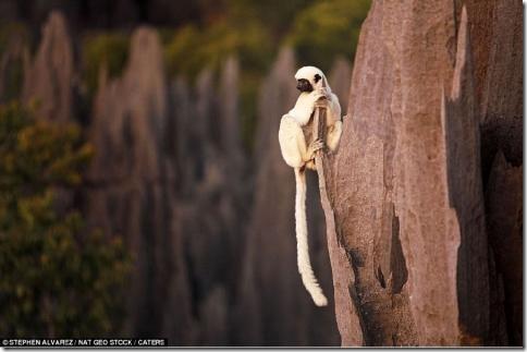 Только лемур может свободно висеть на остром камне