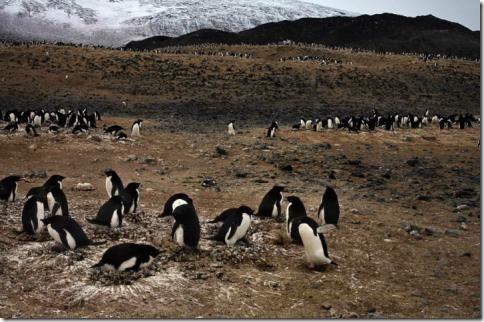 pingvin10