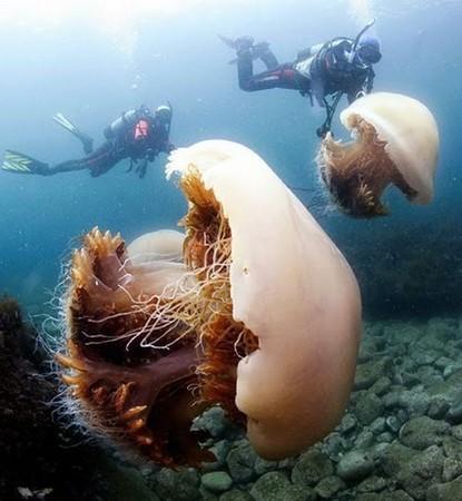 В прибрежные воды Японии вторгаются гигантские медузы весом до 200 кг