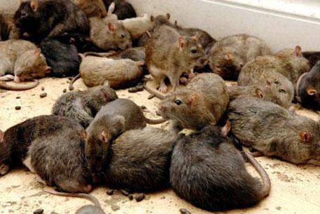 Нашествие крыс. Фото: davidicke.com
