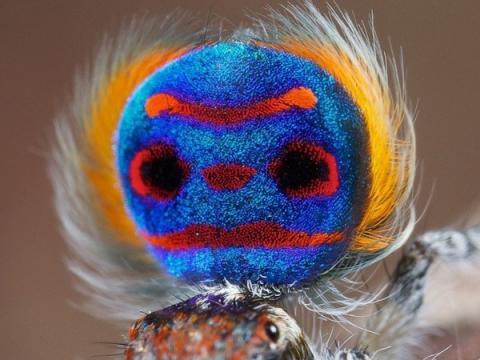 Австралийский павлиний паук – первоклассный ухажёр