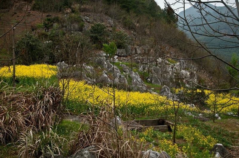 Цветение рапсовых полей в горах