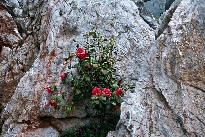 Камелии и камни