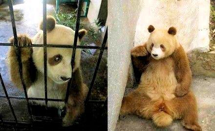 В Шэньси теперь обитает редкая коричневая гигантская панда