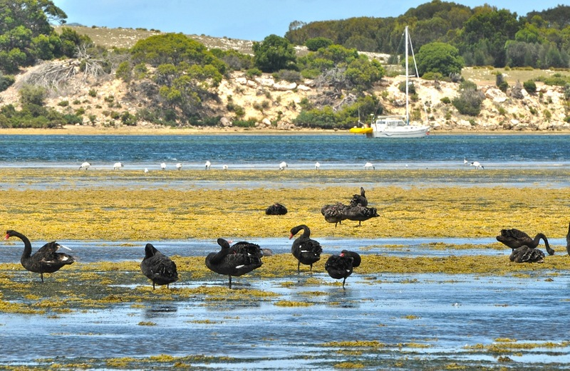 Черные лебеди на отливе