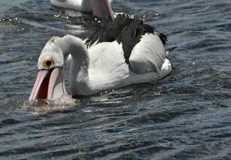 Пеликан-желтый глаз