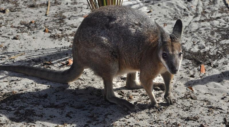 Валлаби-карликовые кенгуру