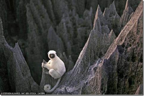 Лемуры прыгают на острый кончик скалы, как акробаты