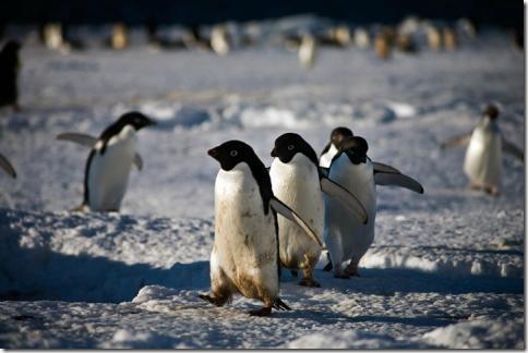 pingvin06