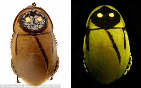 Светящиеся южноамериканские тараканы
