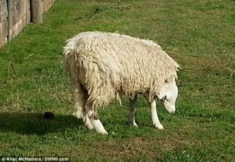 В Великобритании родилась овца с вывихнутой головой