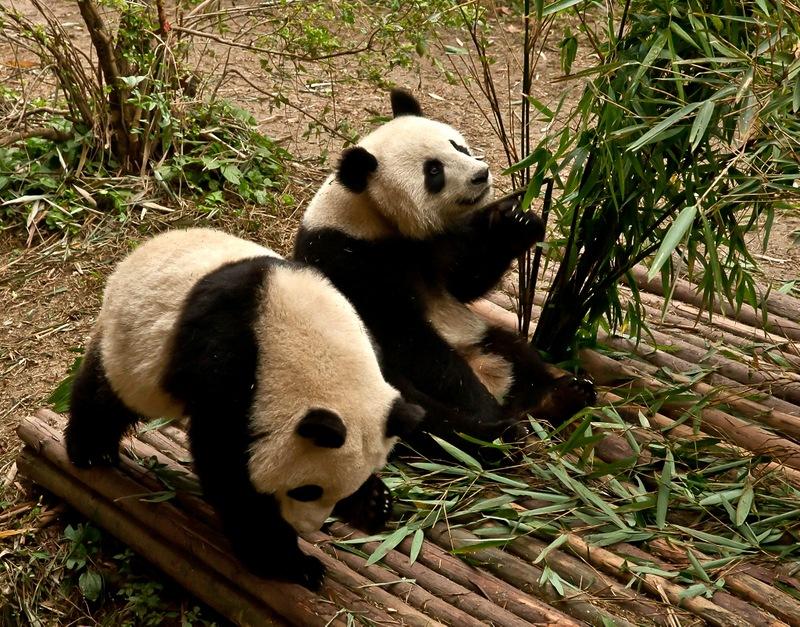 Китай, Сычуань, Чэнду, панды